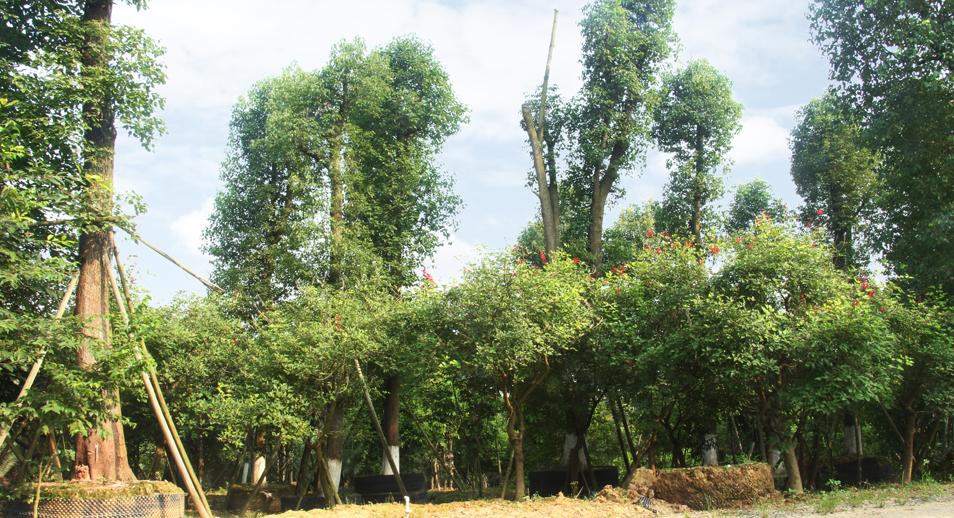 泸州兴隆园林第二基地精品香樟