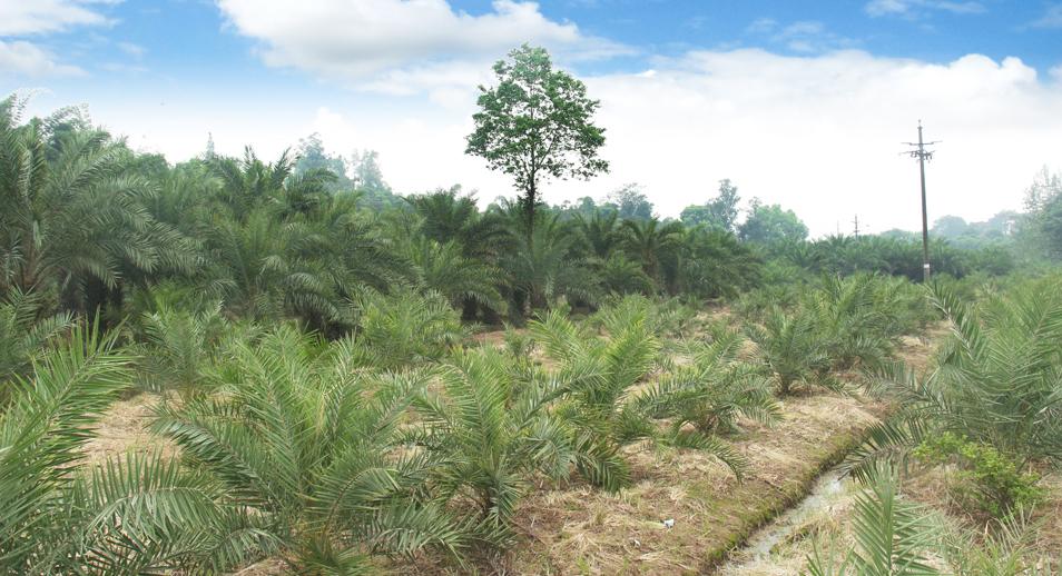 泸州兴隆园林第三基地海枣