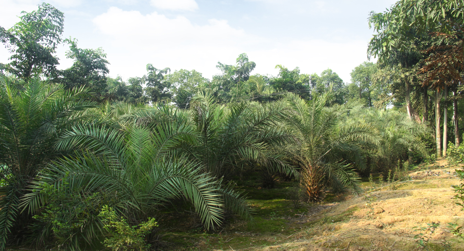 泸州兴隆园林第二基地海枣
